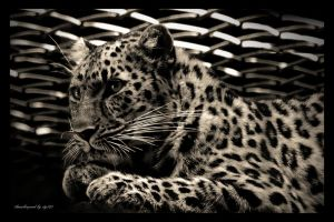 Leopard by stg123