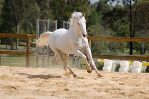 Arab canter one ear back by Chunga-Stock