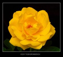 YELLOW ROSE 5 4 11 by THOM-B-FOTO