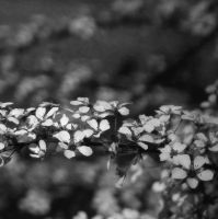 Bridal Wreath - B + W by grbenninger