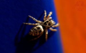 Zebra on blue and orange by webcruiser