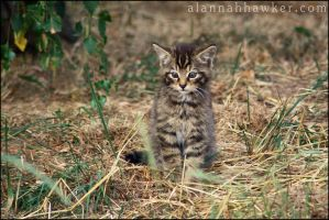 Wildcat Kitten by Alannah-Hawker