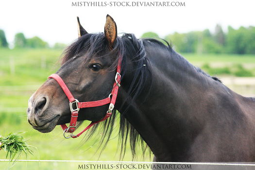 Bay Warmblood 5 by MistyHills-STOCK