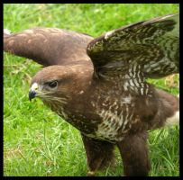 Buzzard by Hozzell