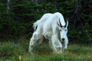 Mountain Goat by Mac-Wiz