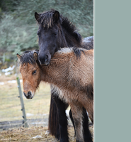 Icelandic horses with foal by TinyCricket