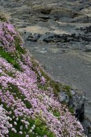 Thrift on Cornish Cliff by LughoftheLongArm