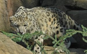 Snow Leopard by Occamsrasr