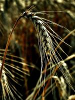 Before harvest by ibabela