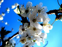 white blossom II by mihi2008