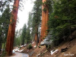 Beautiful Drive Thru Sequoias by emwtaylor