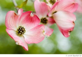 Pink Dogwood Blossoms by butterfly36rs