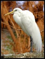 Snowy Egret by Karl-B