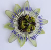 Passionflower 1 by cazcastalla