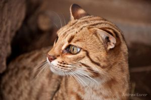 Leopard Cat by AEisnor