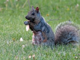 Squirrel with a Maple Key by Michies-Photographyy