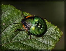 Green Stink Bug 40D0026566 by Cristian-M