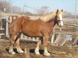 Belgian Draft Horse Stock by judgement06