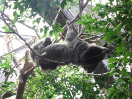 Two-toed Sloth by JollyStock