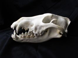 Grey wolf skull by WoroTax
