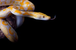Lavender albino retic 3 by AngiWallace