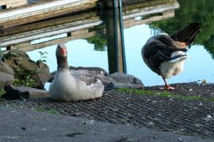 Geese45 by MaelstromStock