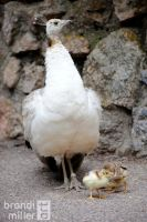 Proud Peahen with Chicks by Strange-1