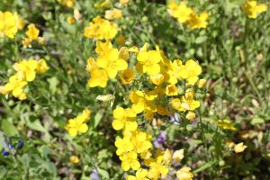 Fragrant Yellow Flowers by Ironmountain01