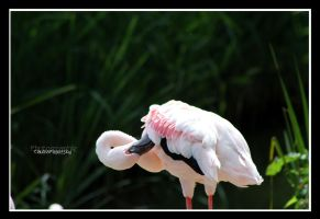 Lesser Flamingo by declaudi