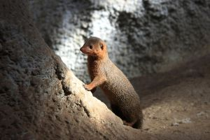 Dwarf mongoose by JR-Dept