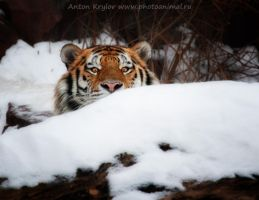 Gaze of tiger 3 by Jagu77