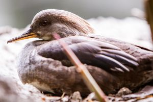 Brazilian Teal by DGPhotographyjax