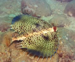 Commonhelmet Gurnard by MotHaiBaPhoto