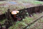 Tiny Brown Mushroom by rdswords