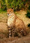 sitting cheetah by TlCphotography730