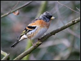 Brambling by cycoze