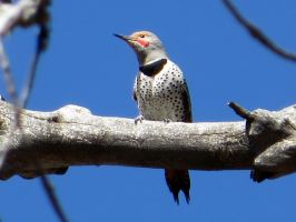 Northern Flicker by LifeIsToBeHappy