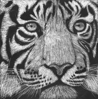 Tiger ScratchArt by Tigergirl3