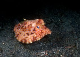 Odd Boxfish by LazyDugong