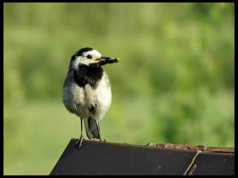 White Wagtail by RicSimane