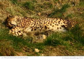 Cheetah Catnap by In-the-picture