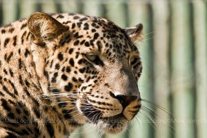 Leopard by MissLoony