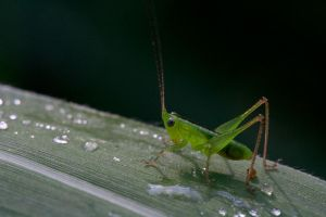 Grasshopper by kyl191