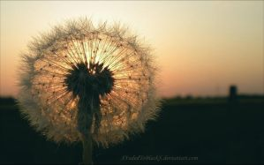 Dandelion Sunset III by XFadedToBlackX
