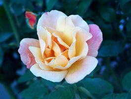 Shy Rose in Garden photograph by PauloDuqueFrade