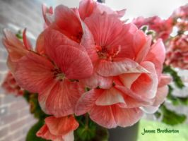 Pink Flowers HDR by jim88bro