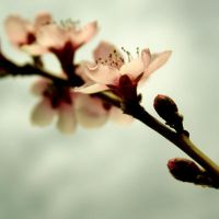 Peach Blossom III by onelook