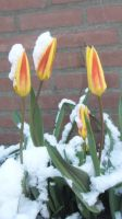 tulips covered with snow by Evanescent-beauty