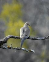 Mourning Dove by jake10684