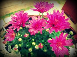 pink flowers by pirana666